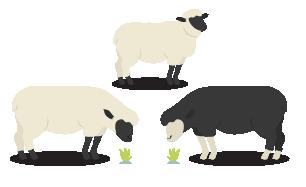 moutons-aid-indonésie-01